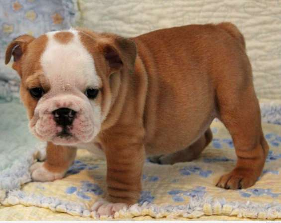 Bulldog inglés cachorros (gratis)!