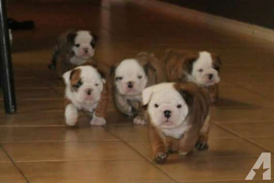 Cachorros de bulldog inglés - gratis *