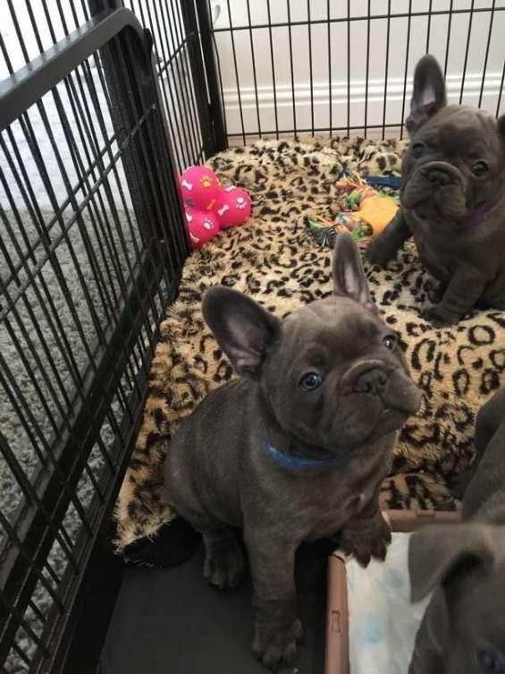 Bulldogs franceses para la venta