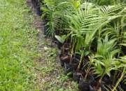 Loma verde invernadero venta de palmeras
