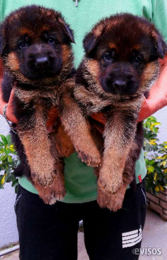 Cachorros ovejeros alemanes