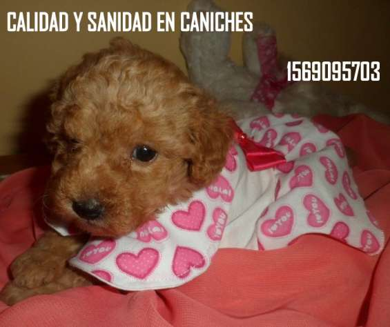 Caniches toy y minis san martin