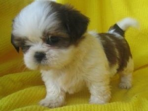 Preciosos Cachorros Shih Tzu Listos En