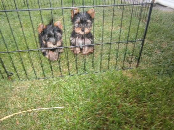 Juguete yorkshire terrier cachorros en venta