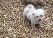 Pedigree bichon frise puppies read now