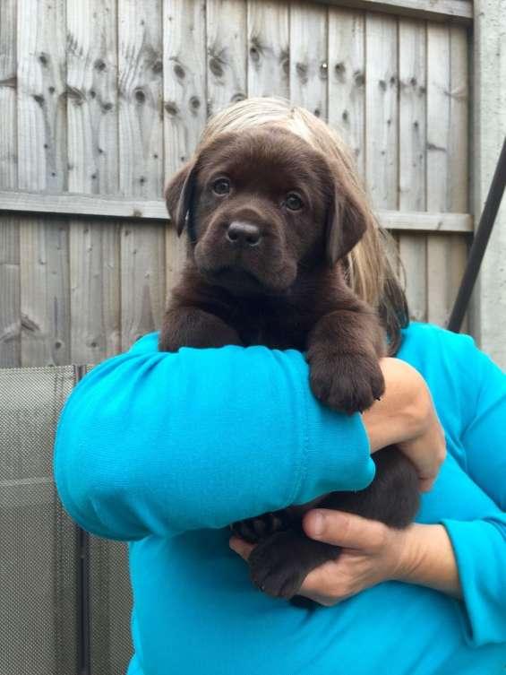 Hermosos cachorros labrador health tested