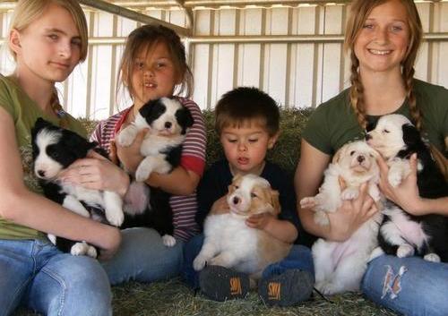5 border collie cachorros en venta