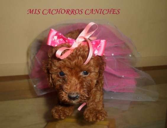 Caniches toy y minis todos los colores