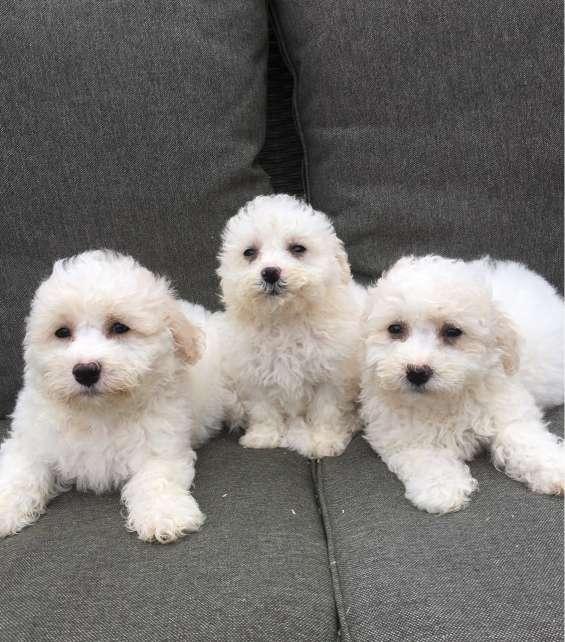 Hermosos cachorros bichon frise