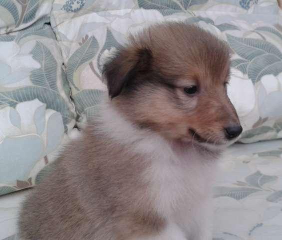 Kc registró cachorros sheltie (cachorros pastor shetland)