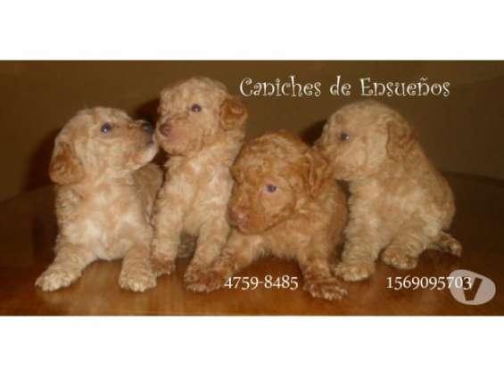 Fotos de Caniches minis machitos!!! 5