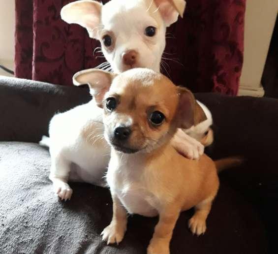 Preciosos cachorros de chihuahua, 2 chicas todavía disponibles
