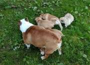 Regalo maravillosos cachorros bulldog