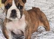Cachorros de bulldog inglés