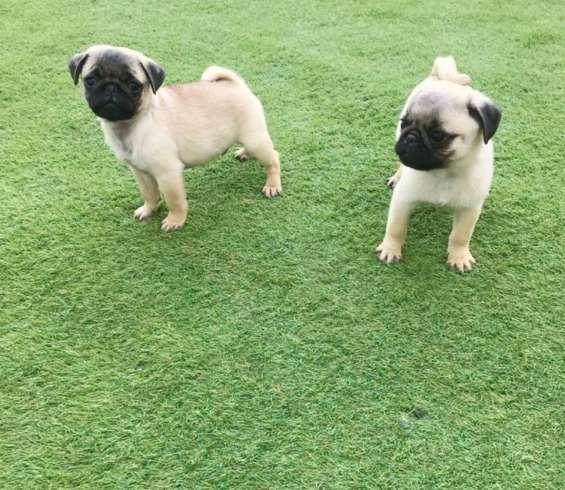 Cachorros ppuros de pug con pedigree disponiblee