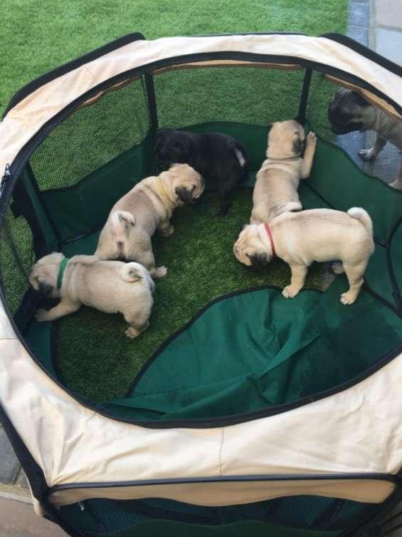 Cachorros puros de pug con pedigree disponibleeee