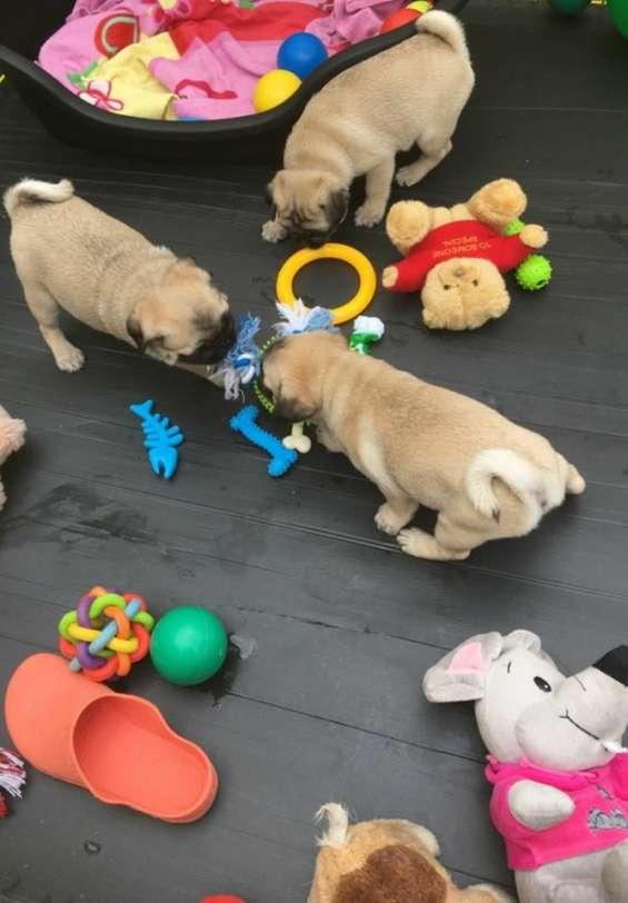 Cachorros puros de pug coon adopcion disponible ..........