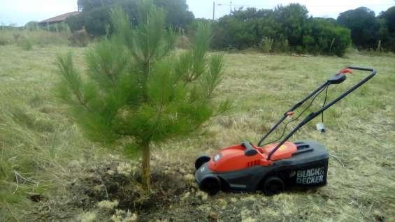 Los  pinos  crecidos