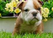 Cachorrosbulldog ingles