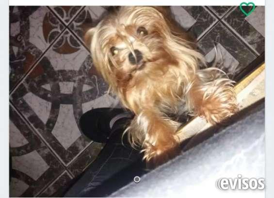 Lindos cachorritos yorkshires 1543995895 julieta