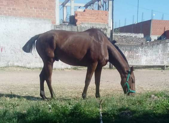 Vendo caballo zaino